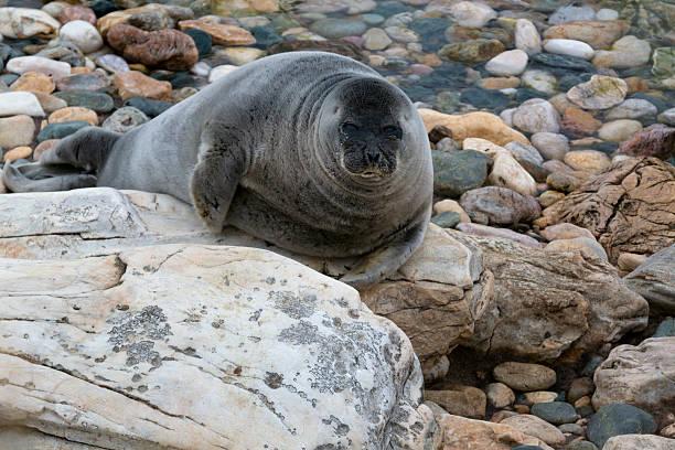 Blick auf die Baikal seal (nerpa) – Foto