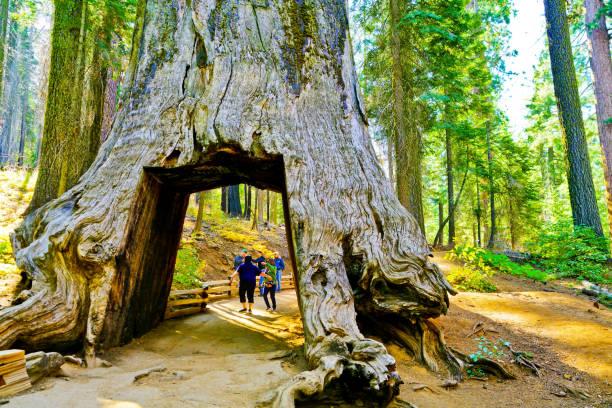 ansicht des baumes tot tunnel in tuolumne grove, yosemite-nationalpark - wäldchen stock-fotos und bilder