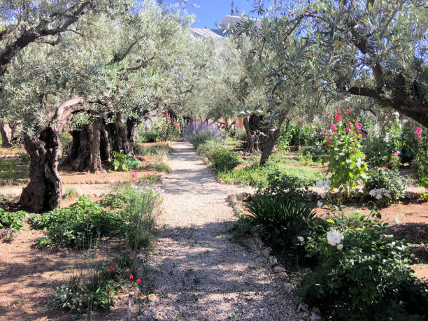 A view of the garden of Gethsemane A view of the garden of Gethsemane historical palestine stock pictures, royalty-free photos & images