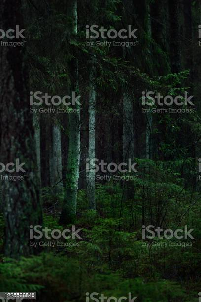 Photo of A view of the misty evergreen forest, ancient tall pine and fir tree trunks close-up. Moss on the ground. Light flowing through the trees. Dark landscape. Estonia