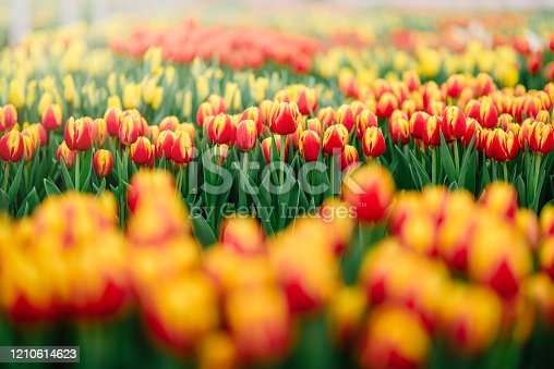 Plantation of blooming yellow and red tulips, closeup.