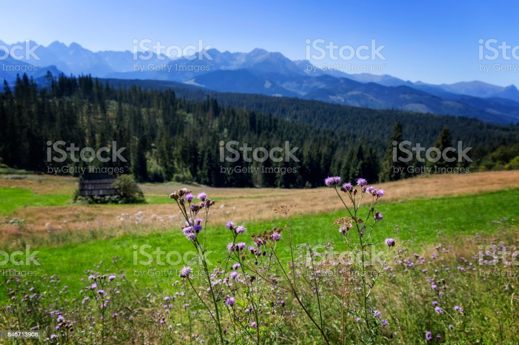 View of the Scotch thistle flowers and Tatra Mountains, Poland stock photo