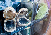View of two small preserved alligator jaws on window display