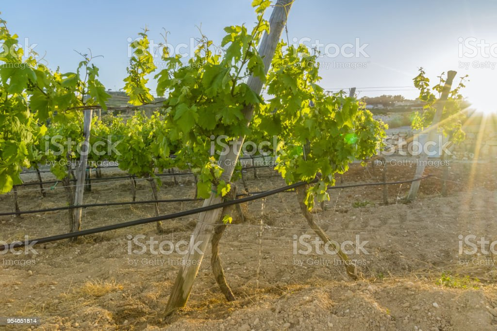 View of vineyard in sunset light stock photo