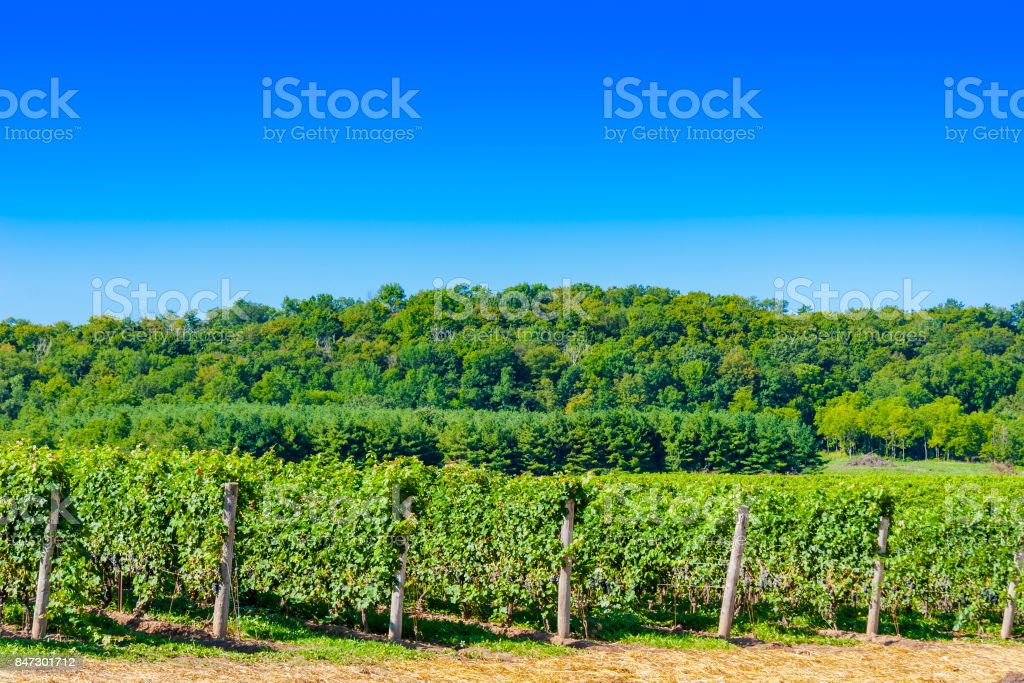 View of Vineyard Rows in Front of Forest - foto stock