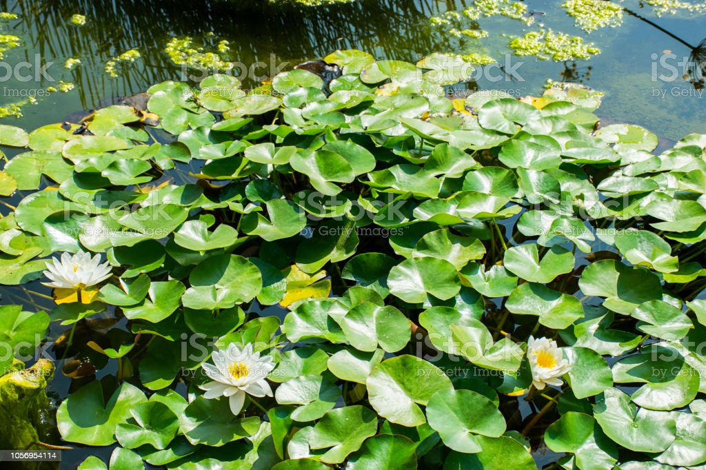 View of water lilies with white flowers stock photo