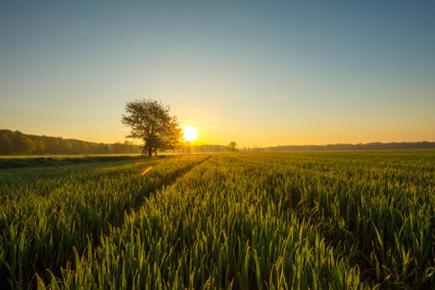 View of wheat field at sunset stock photo
