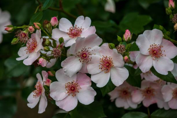 Blick auf weiß-rosa blühenden Busch im Sommergarten – Foto