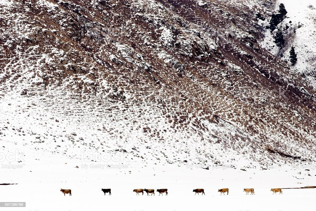 View of winter and cows on the background mountain. Lizenzfreies stock-foto