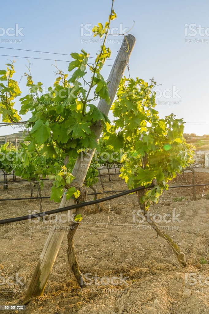 View of young grape vine tree and blue sky stock photo