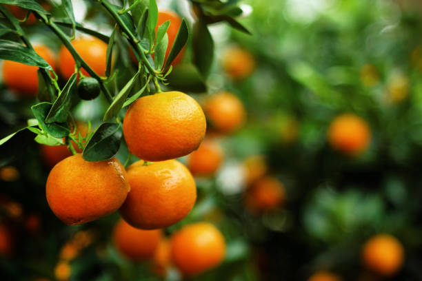 View on a branch with bright orange tangerines on a tree. Hue, Vietnam. View on a branch with bright orange tangerines on a tree. Hue, Vietnam. tangerine stock pictures, royalty-free photos & images