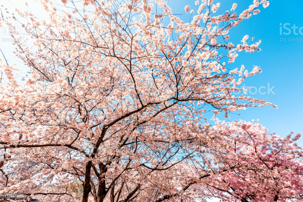 View On Cherry Blossom Sakura Trees Against Sky Perspective With