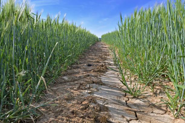 vista sobre el camino de tierra cruzando un trigo creciendo en un campo - foto de stock