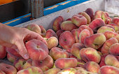 View on fresh ripe juicy saturn peach. Fruits from the farmers market. Eco products. Vitamins vegetarian diet. Healthy food. Natural vegetable background. Harvest Festival. Summer ripe fruit