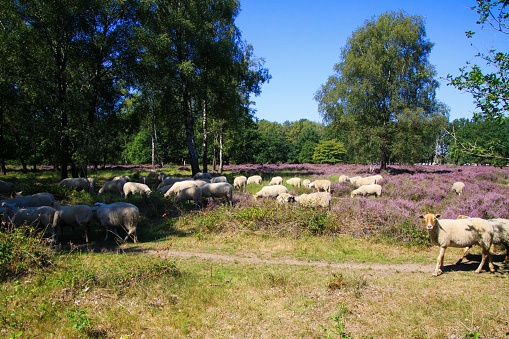 View on herd of sheep grazing in glade of dutch forest  heathland with purple blooming heather erica plants