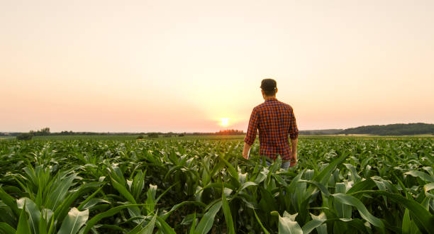 View on man on corn field stock photo