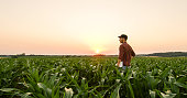 View on man standing on corn field at sunset