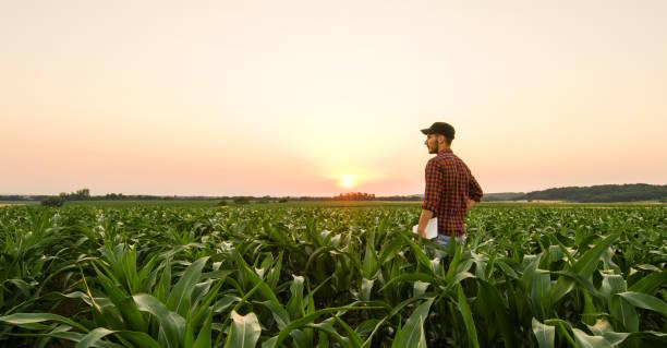 옥수수 밭에 남자에 보기 - 농업 뉴스 사진 이미지