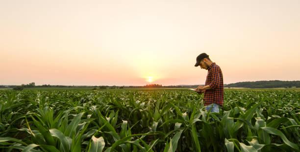 View on man on corn field stock photo
