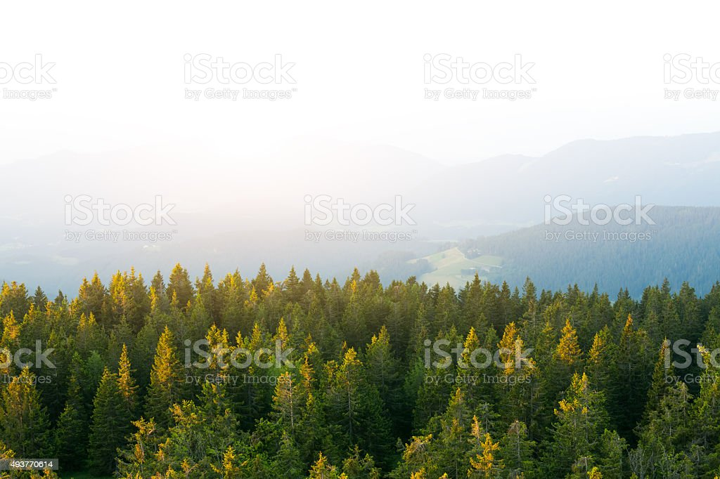 View On Pine Forest From Above stock photo