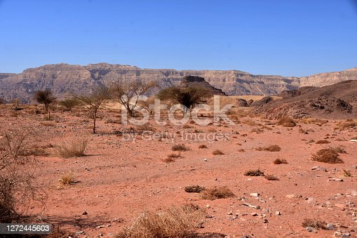 View on the sparse vegetation growing from shrivelled ground in Timna Park located in Negev desert in Israel. On the background are visible arid countryside mountains of red and light brown colour.