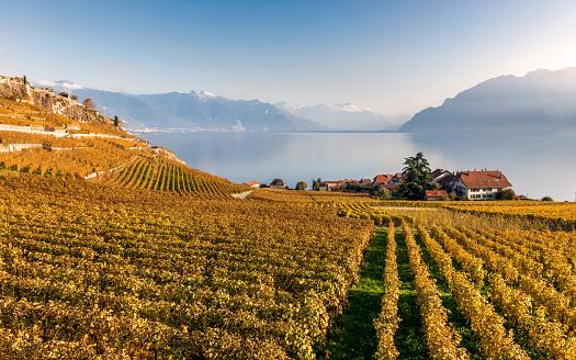 View on the vineyard terraces, Geneva Lake and Alps Mountains.