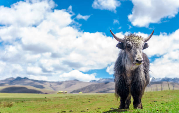 View on Yak in the grassland of China View on Yak in the grassland of China yala stock pictures, royalty-free photos & images