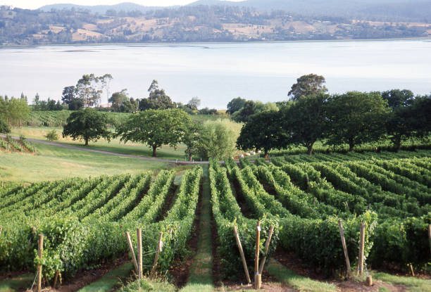 View over a vineyard with rows of grape vines stock photo
