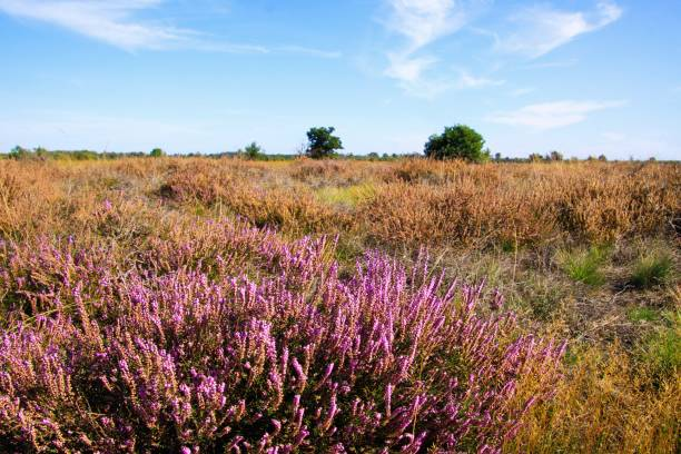 View over heather purple erica flower bush on dry endless heath  landscape - Strabrechtse Heide near Eindhoven, Netherlands View over heather purple erica flower bush on dry endless heath  landscape moor stock pictures, royalty-free photos & images