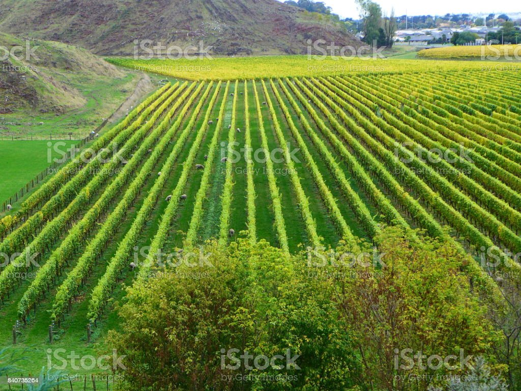 View over vineyard at Mission Estate stock photo