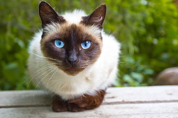View siamese cat picture id176697468?b=1&k=6&m=176697468&s=612x612&w=0&h=izc0bhmapunrto pkpxsiuplhbb41uydscgutnjg7ea=