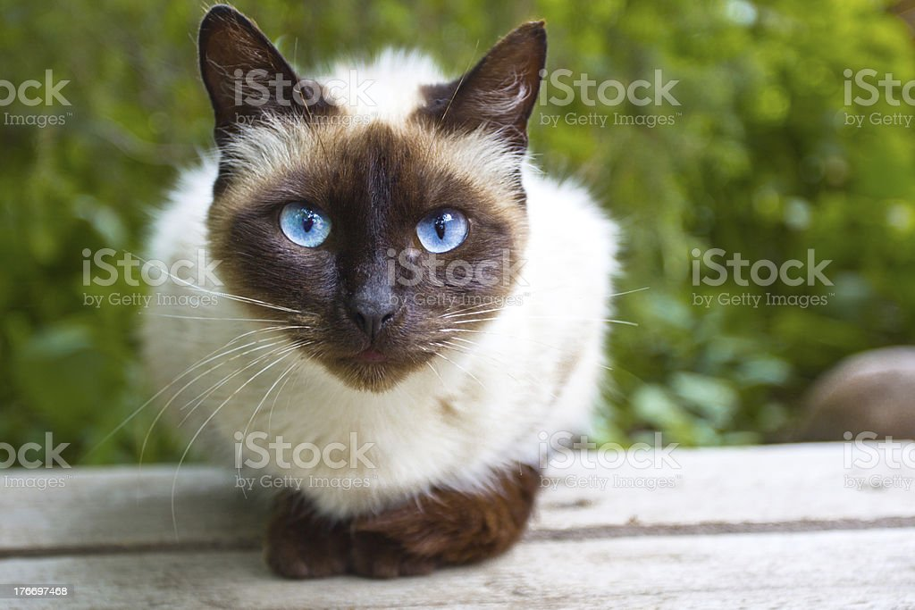 View Siamese Cat stock photo