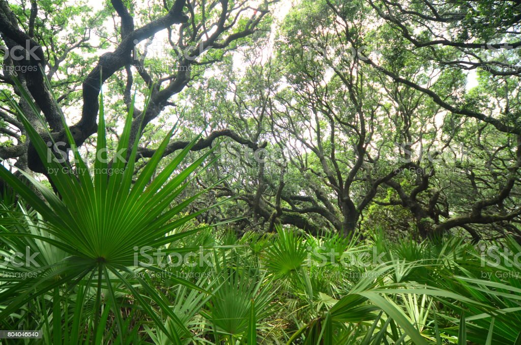 View through dense Saw Palmetto understory of Live Oak forest stock photo