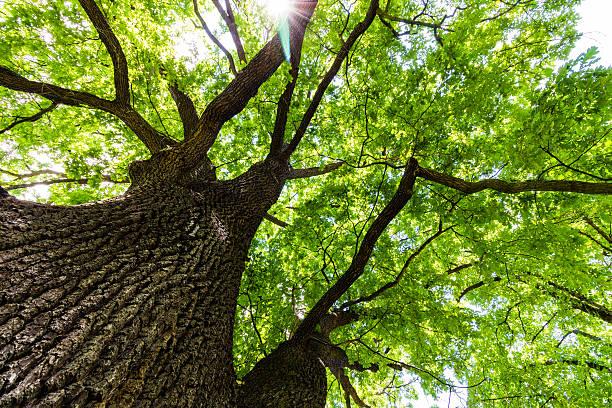 view through the crown of an oak tree - was ist co2 stock-fotos und bilder