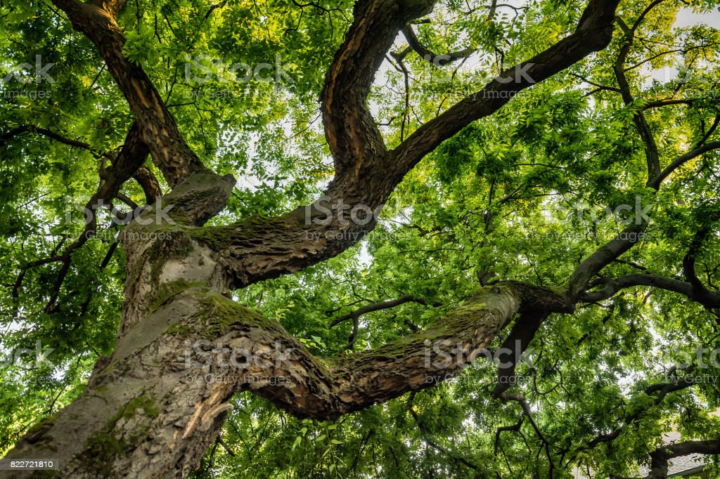 Blick durch die Krone einer Eiche – Foto