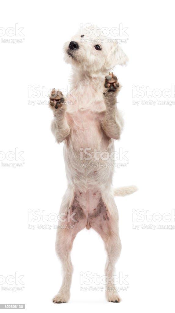 Ansicht Througth ein Glas ein Parson Russell Terrier an Hinterbeinen, lehnte sich gegen das Glas vor weißem Hintergrund – Foto