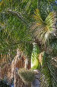 View to a lush palm tree with fruits
