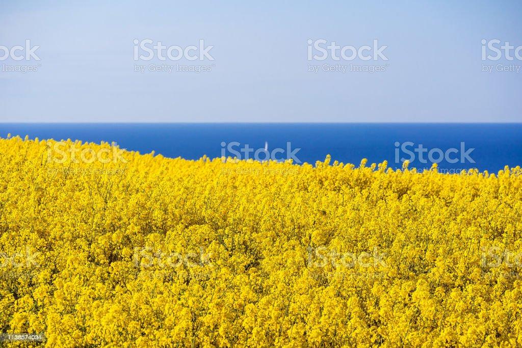 Blick auf die Ostsee mit Rapsfeld – Foto