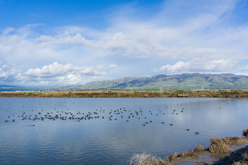 istock View towards Mission and Monument Peak; coots swimming on a salt pond; Don Edwards Wildlife Refuge, south San Francisco bay, Alviso, San Jose, California 1092386220