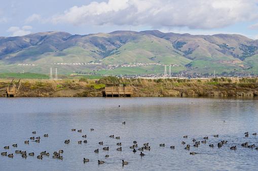 istock View towards Monument Peak; coots swimming on a salt pond; Don Edwards Wildlife Refuge, south San Francisco bay, Alviso, San Jose, California 1092386206