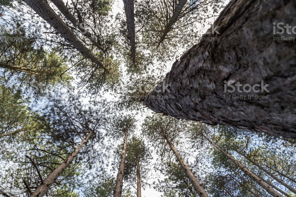 View under the big pine tree stock photo