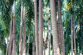 Young Teak trees in plantation, Thailand