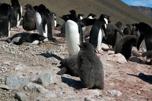 ผลการค้นหารูปภาพสำหรับ Penguin Rockeries