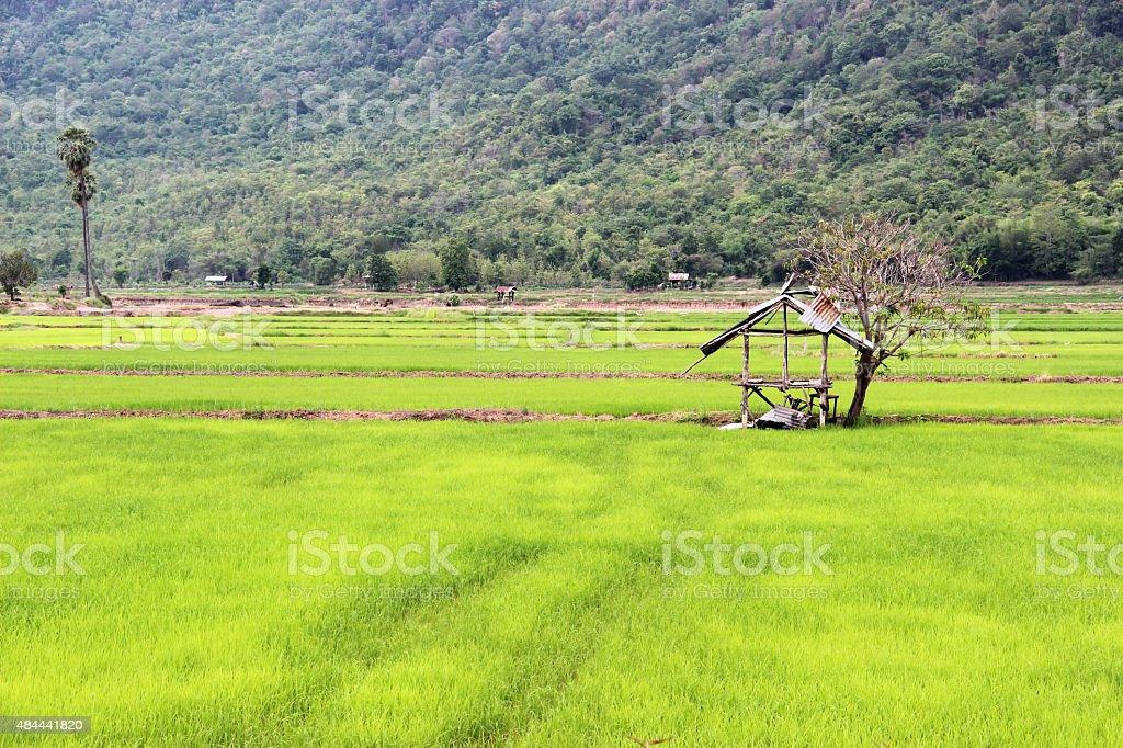 Views of rice fields stock photo