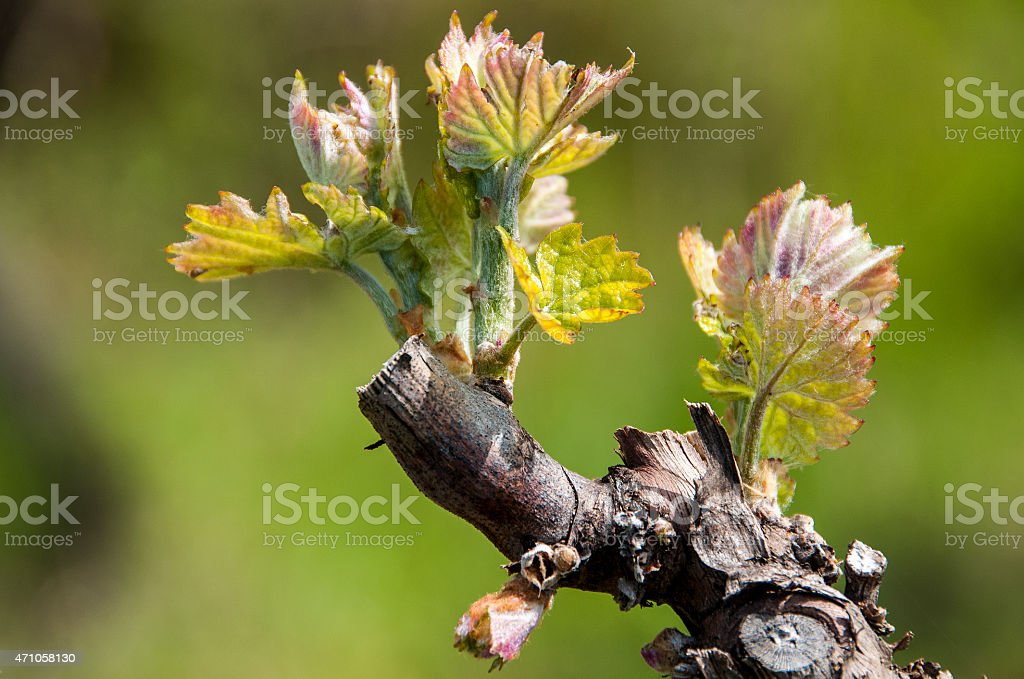 vigne au printemps stock photo