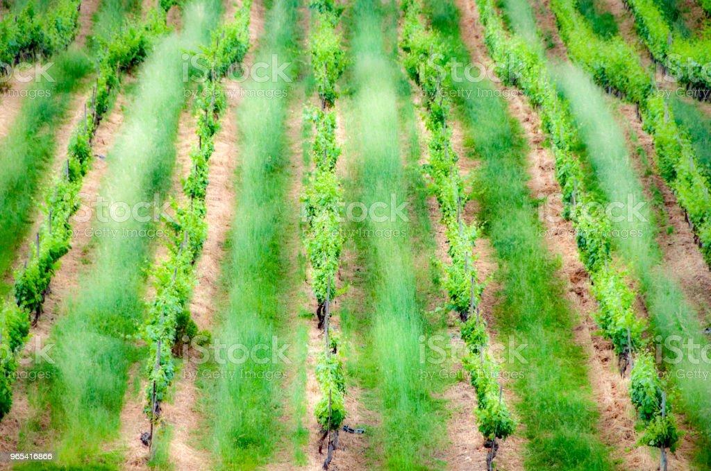 vignes - Photo de Agriculture libre de droits