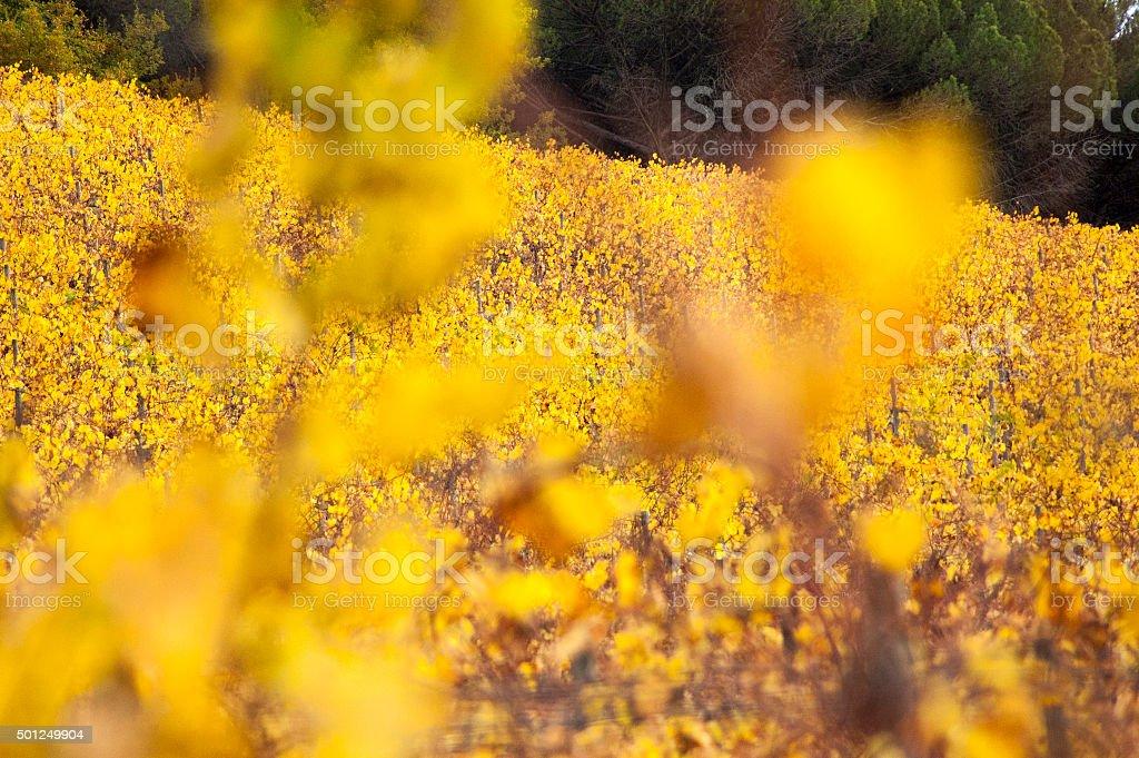 Vigneto con foglie gialle in Greve in Chianti autunno stock photo