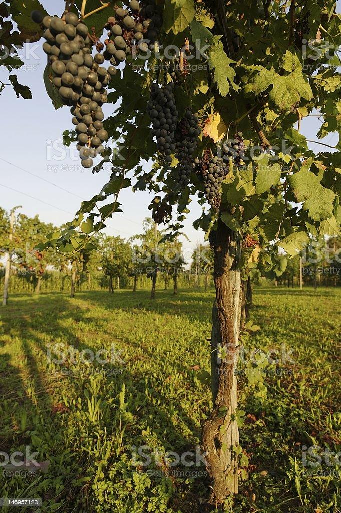 Vigneto Veneto royalty-free stock photo