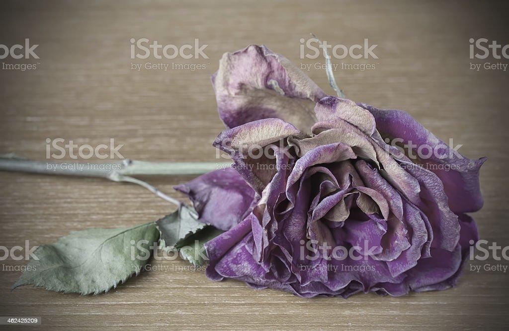 Vignette image of dead purple rose stock photo