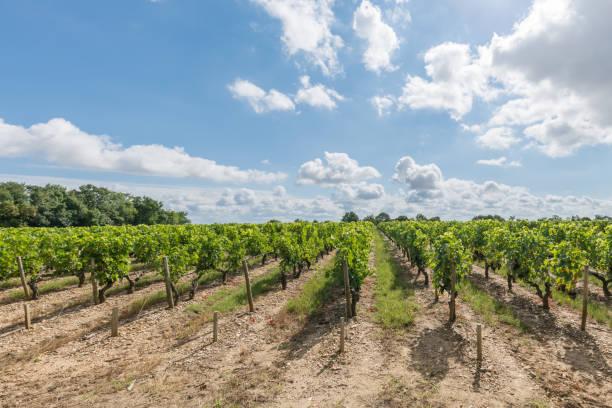 vignoble du médoc, près de bordeaux (frankreich) - bordeaux wein stock-fotos und bilder